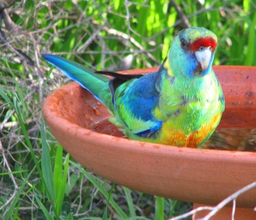 Mallee Ringneck Parrot