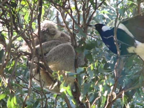 Koala and Magpie