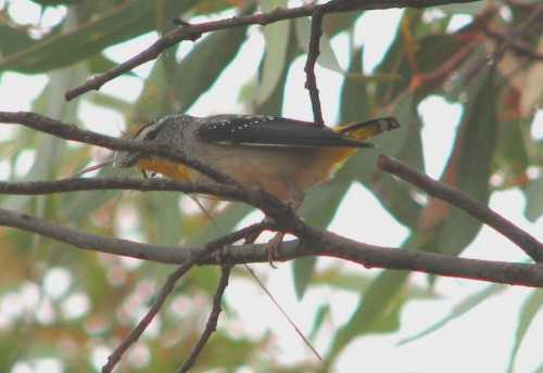 Spotted Pardalote with nesting material in beak