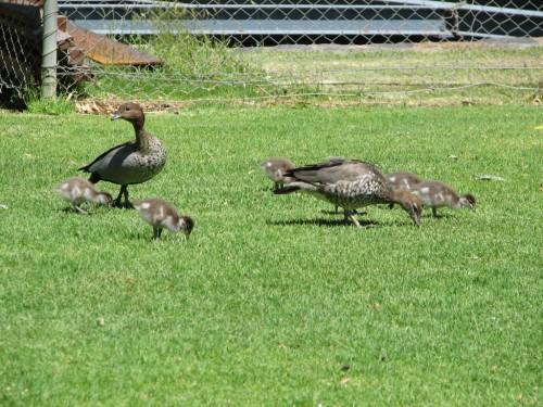 Australian Wood Ducks with ducklings