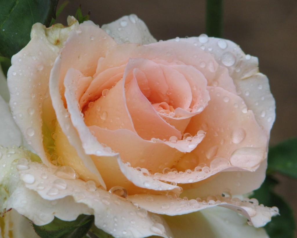 http://www.trevorhampel.com/wp-content/uploads/2006/11/roses_after_rain_20051107_008.jpg