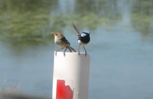 Superb Blue Wrens