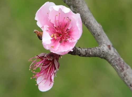 Nectarine tree blossoms