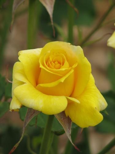 Adelaide International Rose Garden
