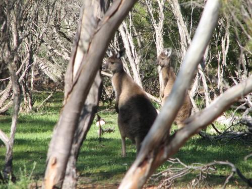 Western Grey Kangaroos, Monarto Zoo, South Australia