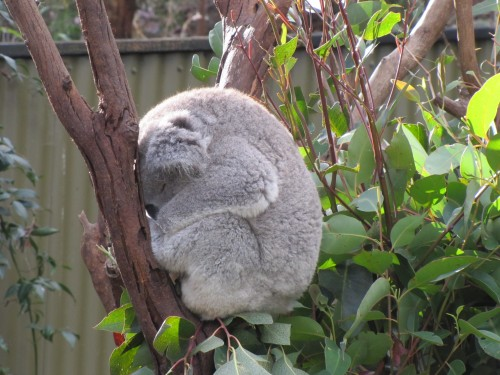 Koala asleep in the Australian Reptile Park