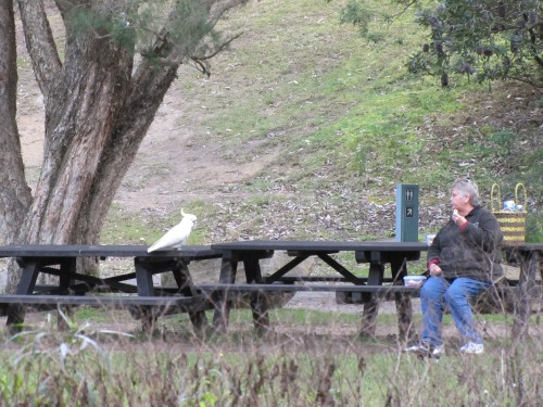Sulphur-crested Cockatoo on our picnic table