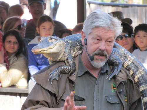 Alligator and presenter, Australian Reptile Park