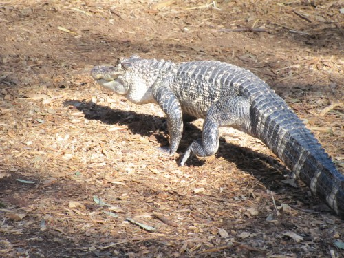 Alligator at Australian Reptile Park
