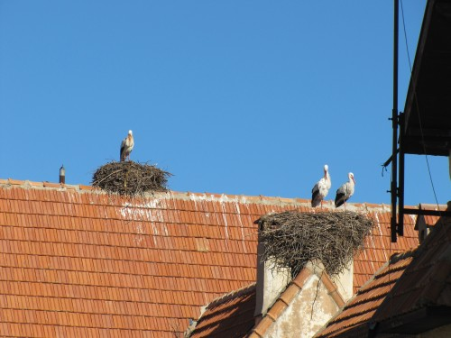 White Storks on nests in Morocco