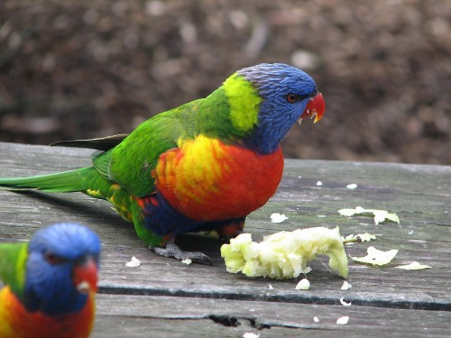 Rainbow Lorikeets, Taronga Zoo, Sydney