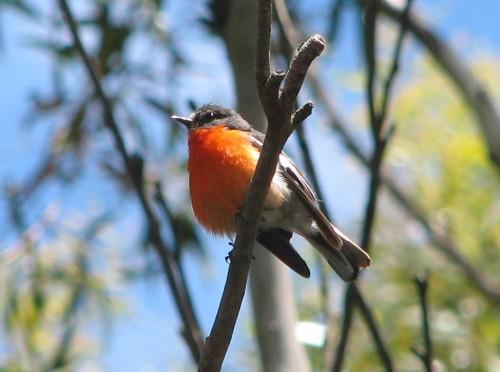 Flame Robin, Mt Macedon, Victoria