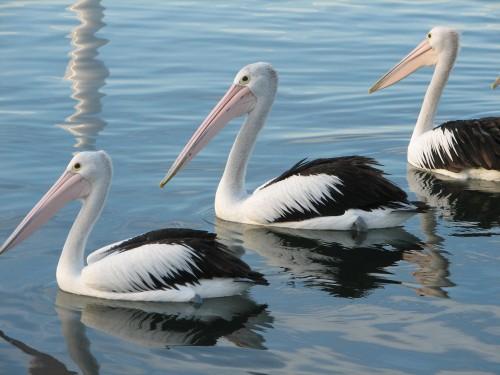 Australian Pelicans, Mallacoota, Victoria